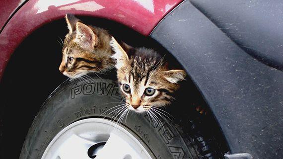 котята сидят в авто на колесах